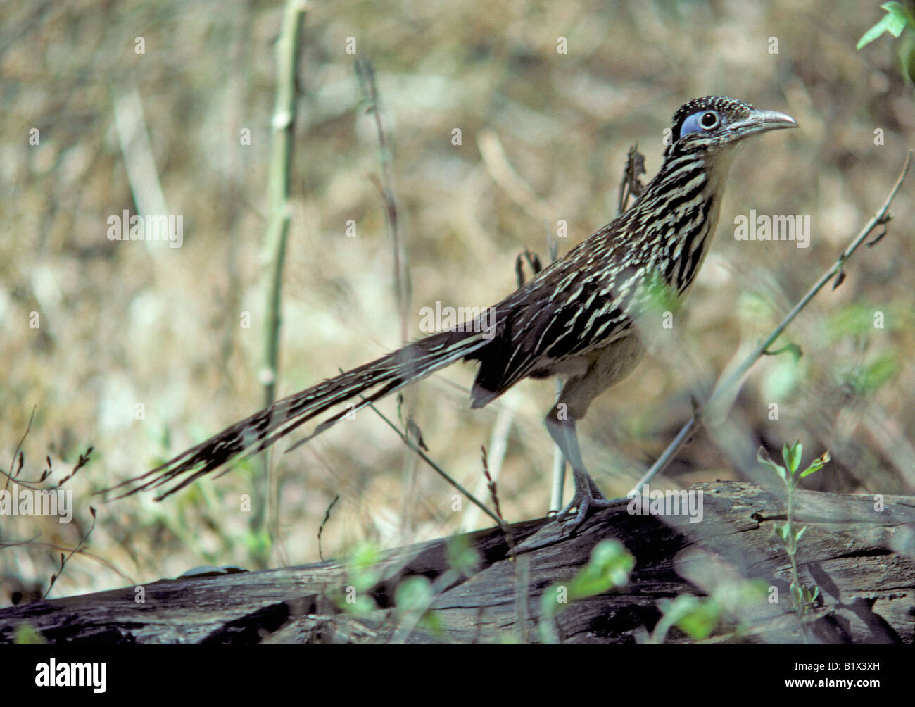 Lesser Roadrunner Geococcyx velox Alamos Sonora MEXICO September Adult Cuculidae - Stock Image