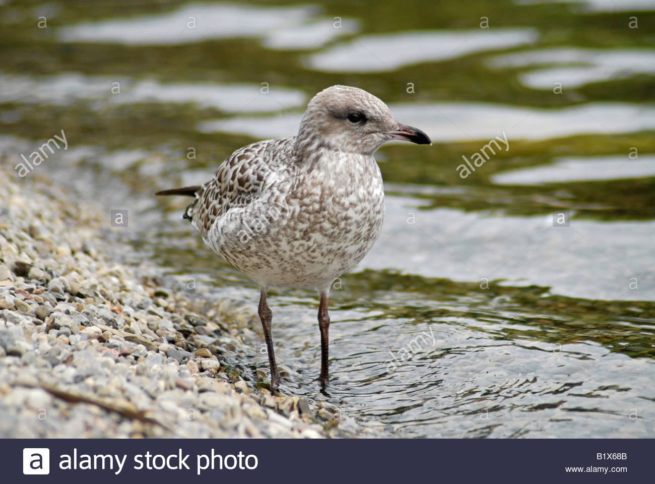 Young Herring Gull at the Lakeshore - Stock Image