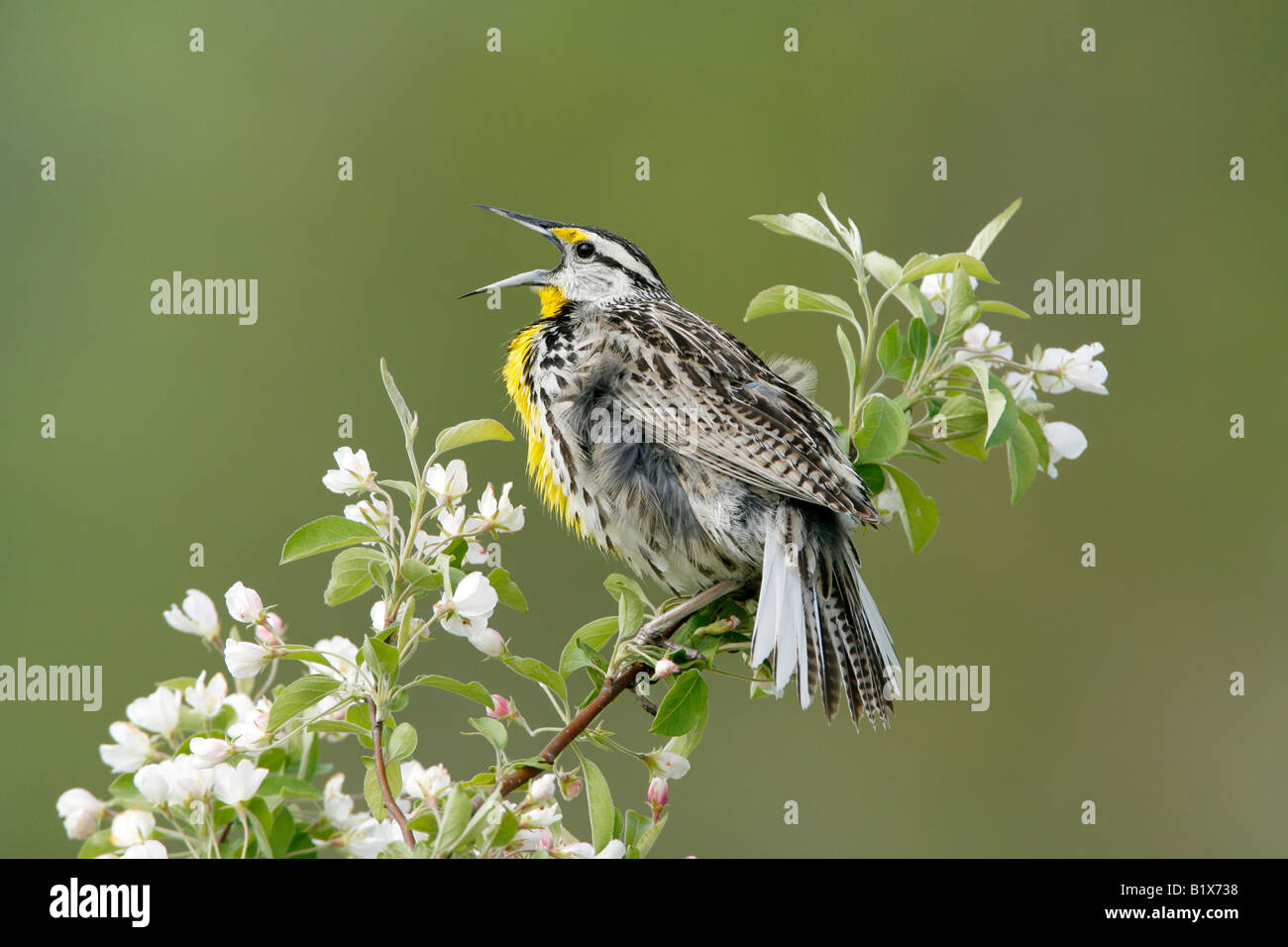 Eastern Meadowlark Singing in Apple Tree Blossoms - Stock Image