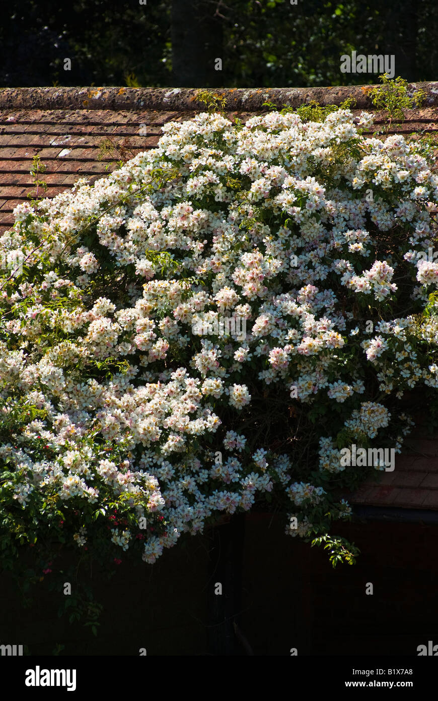 Upright picture of Rosa Wedding Day in June climbing onto a barn roof in UK - Stock Image