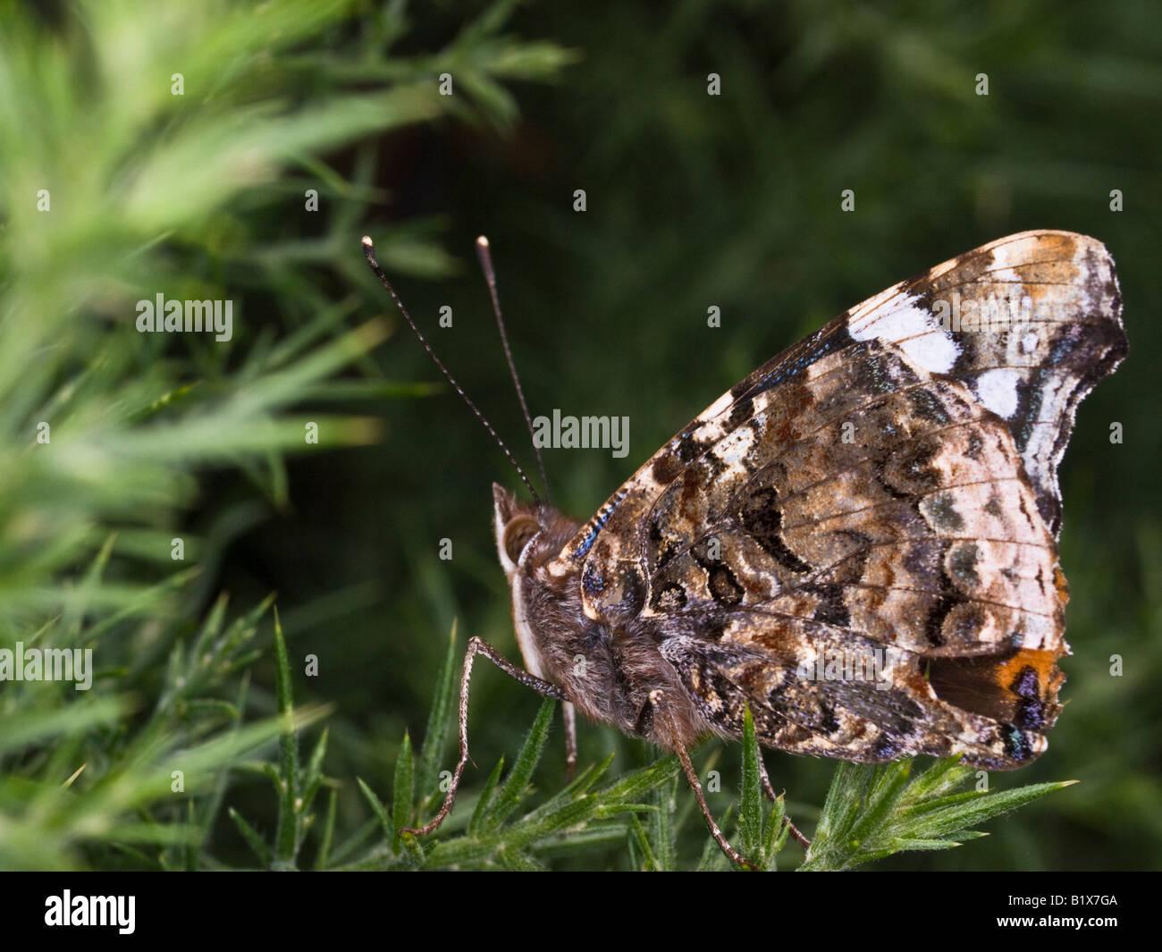 Red Admiral Vanessa atalanta (Nymphalidae) - Stock Image