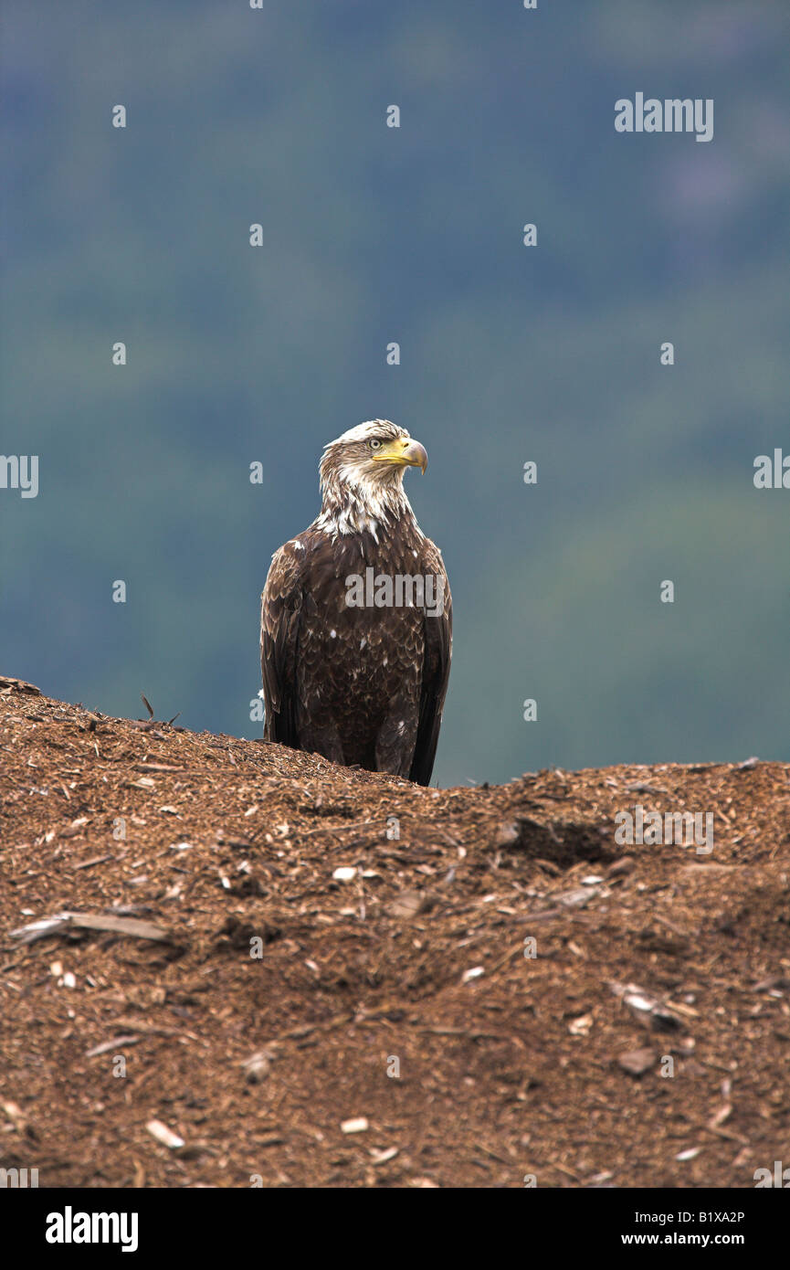 Bald Eagle Haliaeetus leucocephalus immature sitting on a huge mound of fish meal near Telegraph Cove, Vancouver Stock Photo
