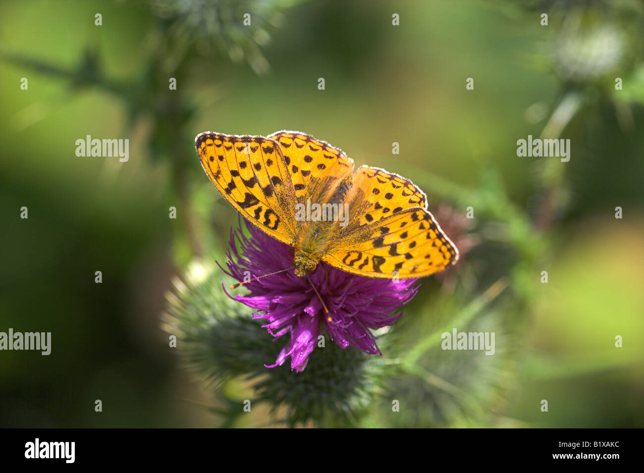 High Brown Fritillary Argynnis adippe butterfly feeding on thistle at Gait Barrows, Cumbria, England in July. - Stock Image