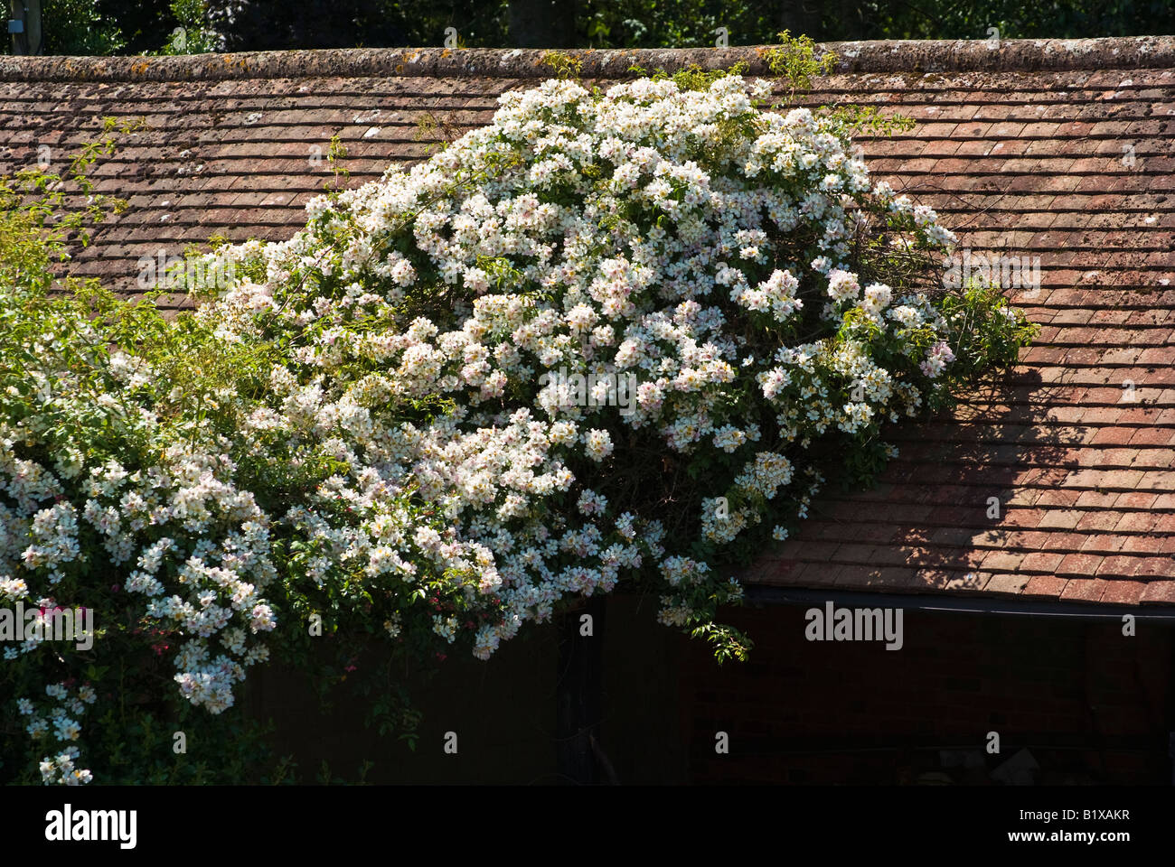 Rosa 'Wedding Day' climbing over a barn roof in UK - Stock Image