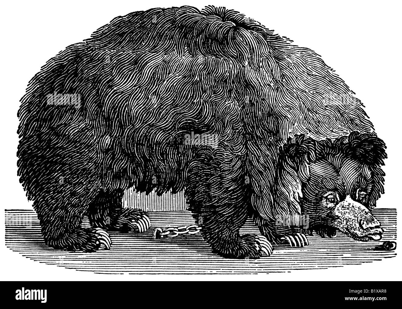 An antique wood engraving (woodcut) of a black bear made by Thomas Bewick in 1790. - Stock Image