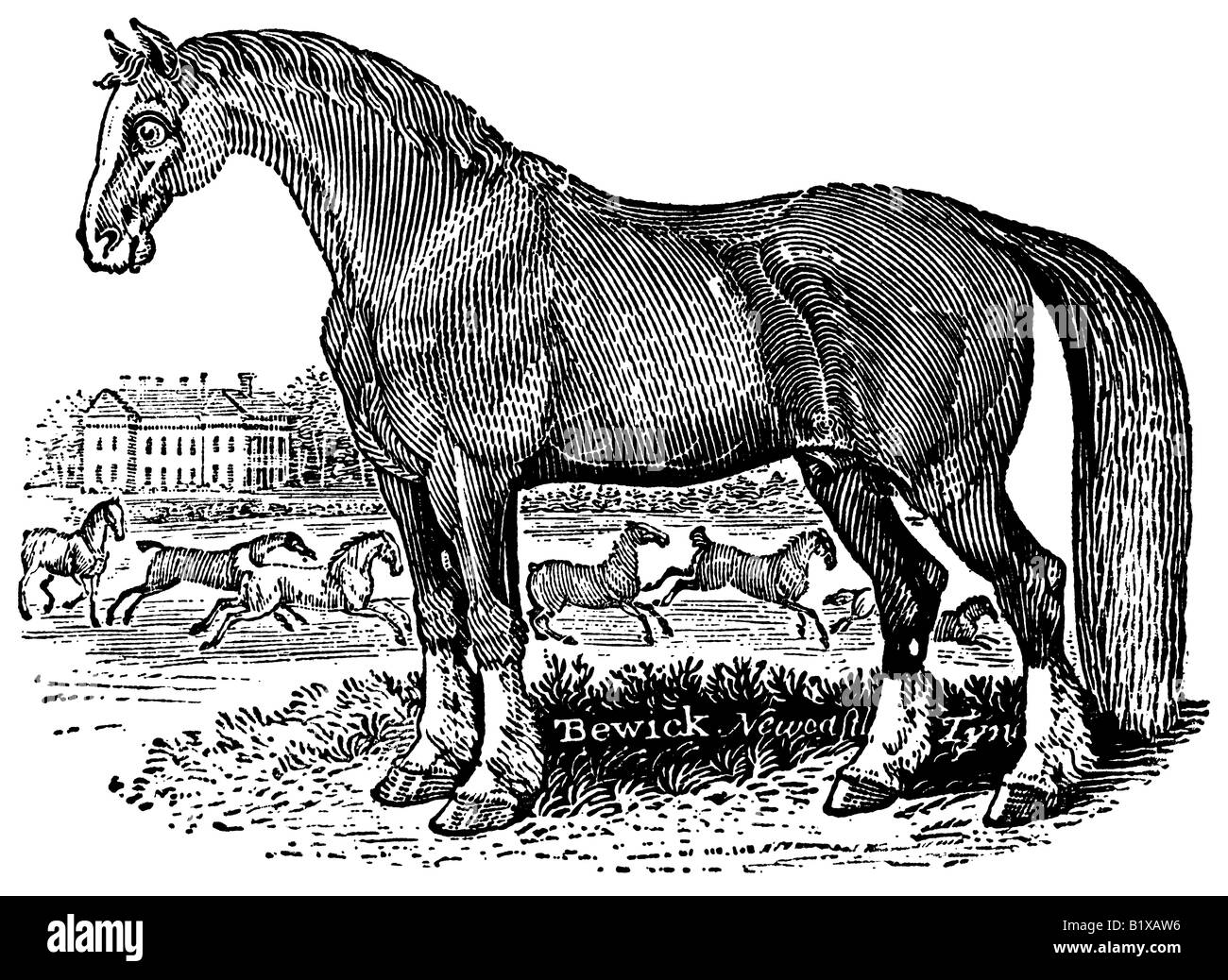 An antique wood-engraving (woodcut) of a horse standing in a field; it was made by Thomas Bewick in (or before) - Stock Image