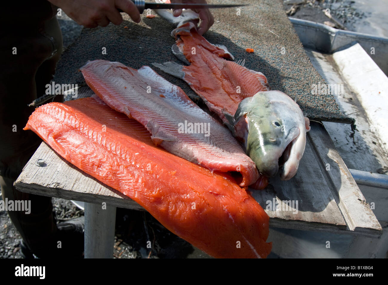 Filleting of a red salmon at the Copper River near the village of Chitina Alaska USA Stock Photo