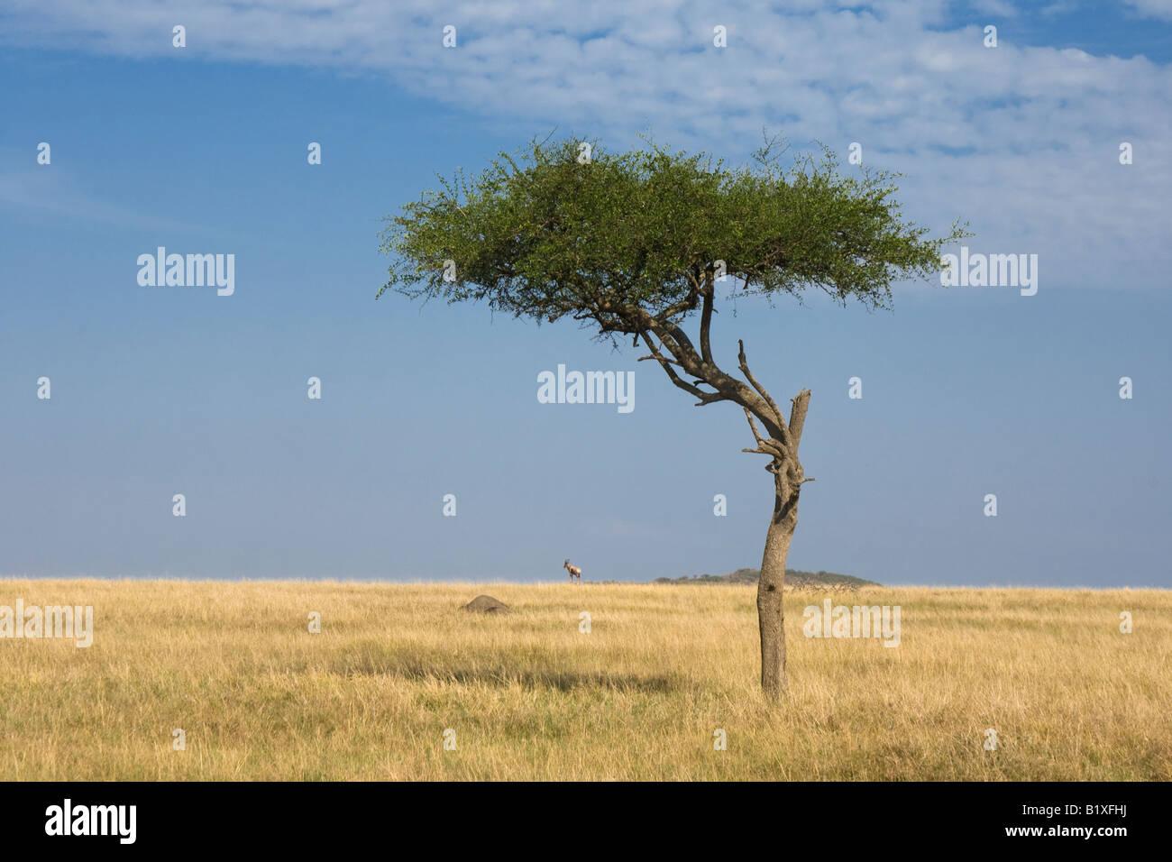 Topi and Shepard tree - Stock Image
