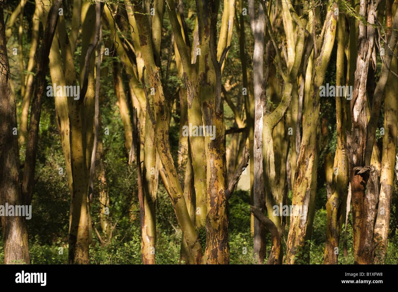 Yellow barked acacias trees - Stock Image
