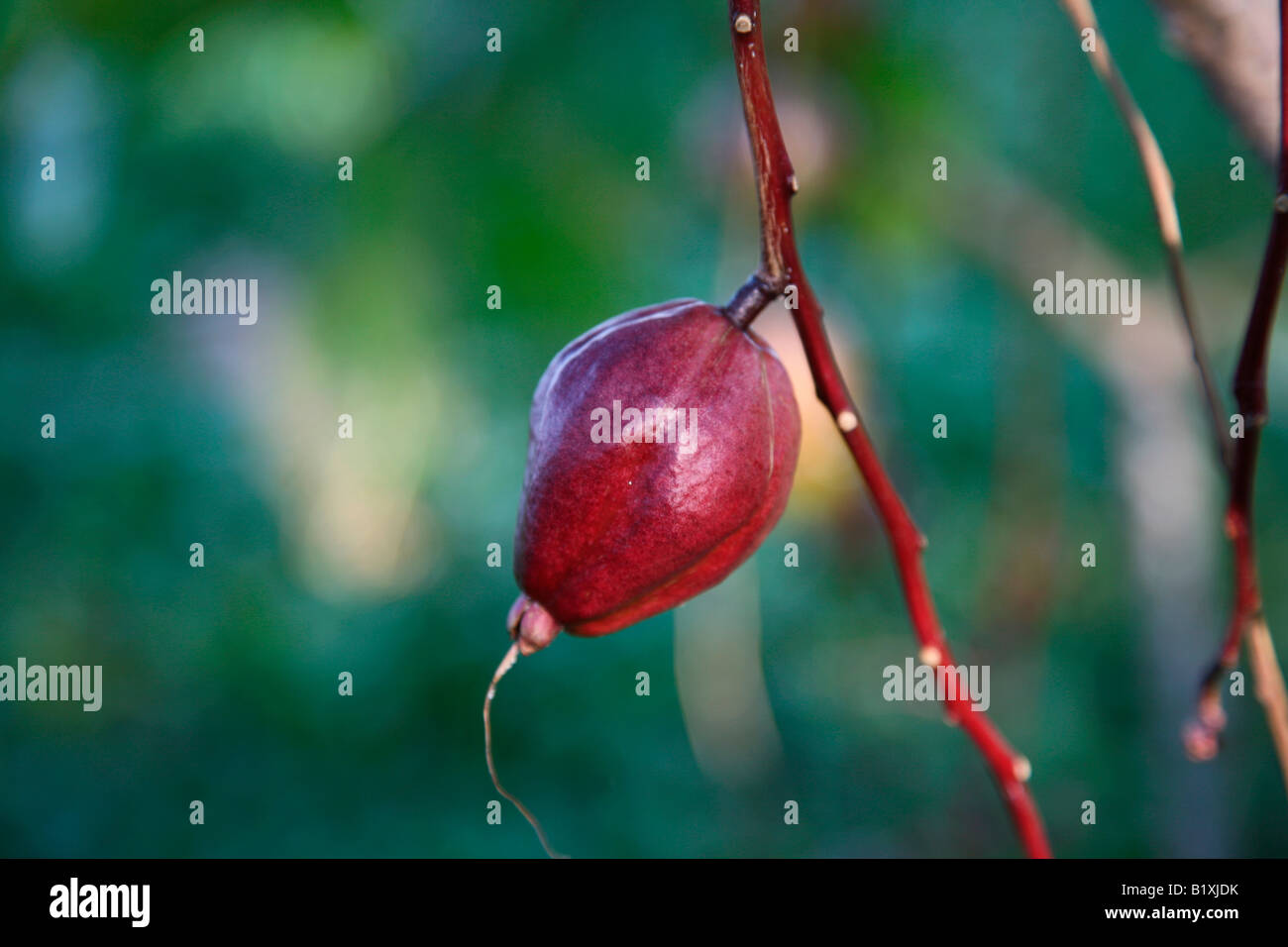 red fruit of barrentonia rassi mossa Stock Photo