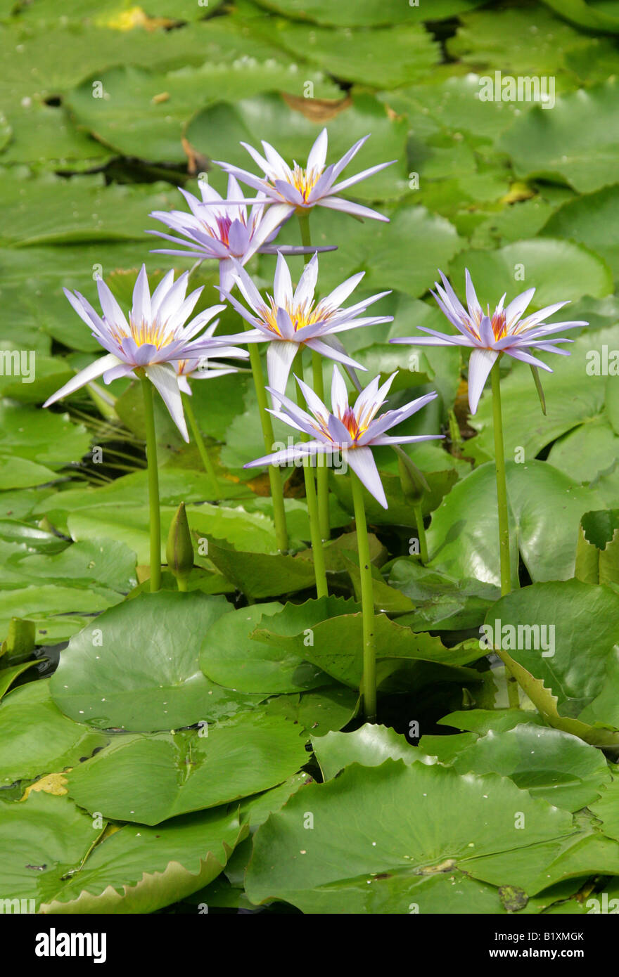 Waterlillies, Nymphaeaceae Stock Photo