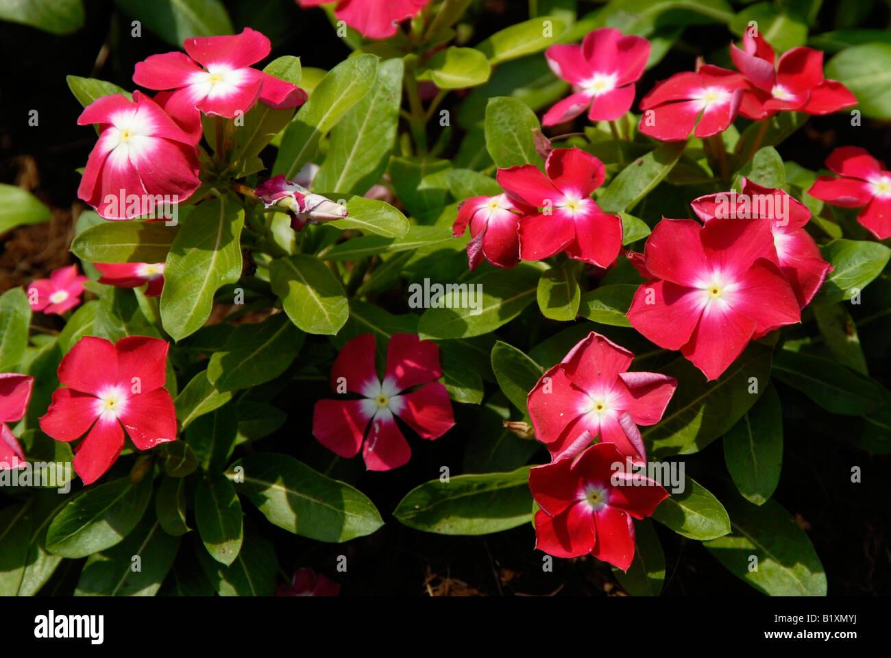 Periwinkle, Vinca flowers ( Catharanthus roseus Stock Photo ...