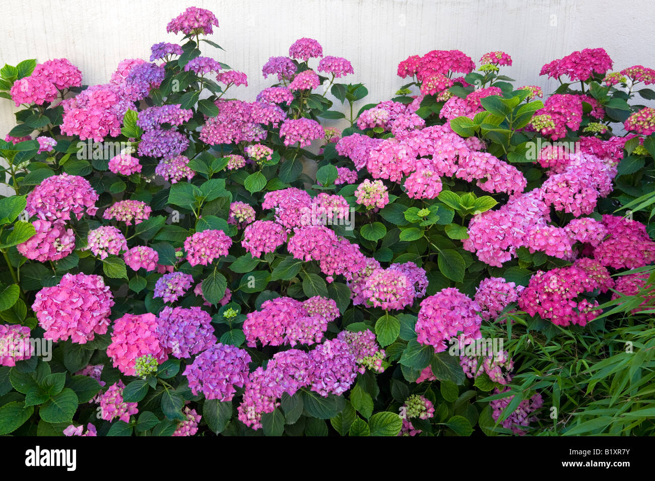 Pink Hydrangea bank (Hydrangea macrophylla), on a wall (France). Massif d'hortensia rose en fleurs, devant un - Stock Image