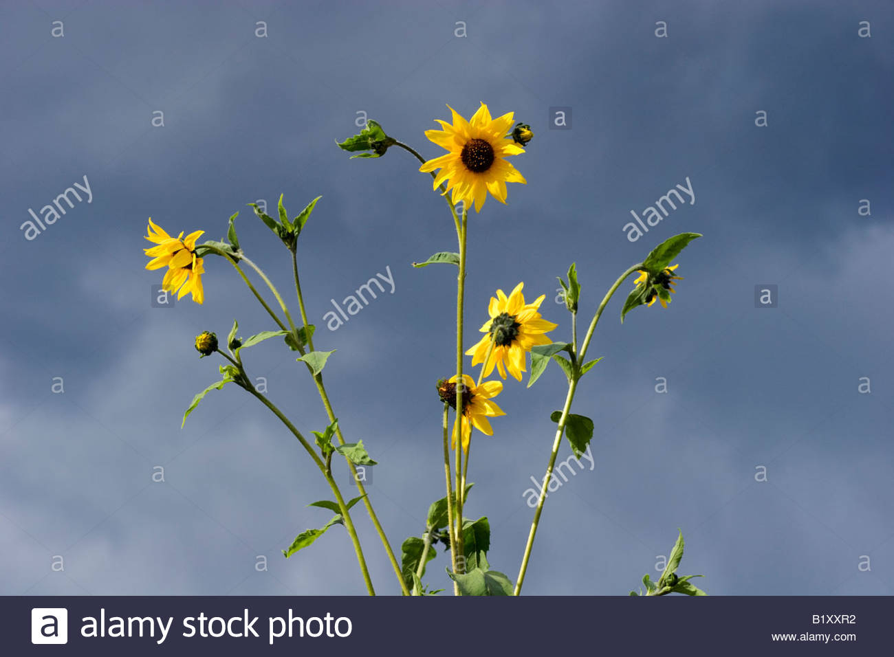 Sunflowers and Thunderstorm Clouds Southern California - Stock Image