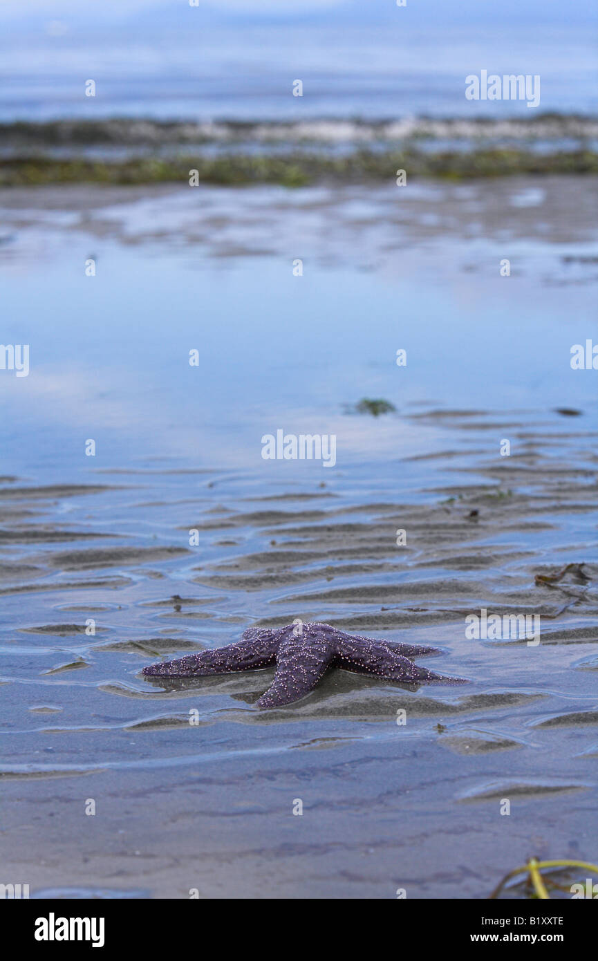 Ochre Seastar Pisaster ochraceus washed up on sandy beach with incoming tide in background in Strait of Georgia, - Stock Image