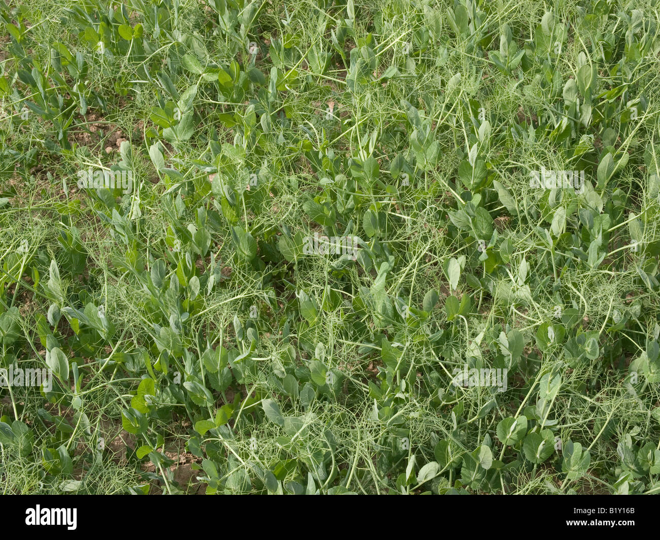 peas growing on a field fodder plant Stock Photo