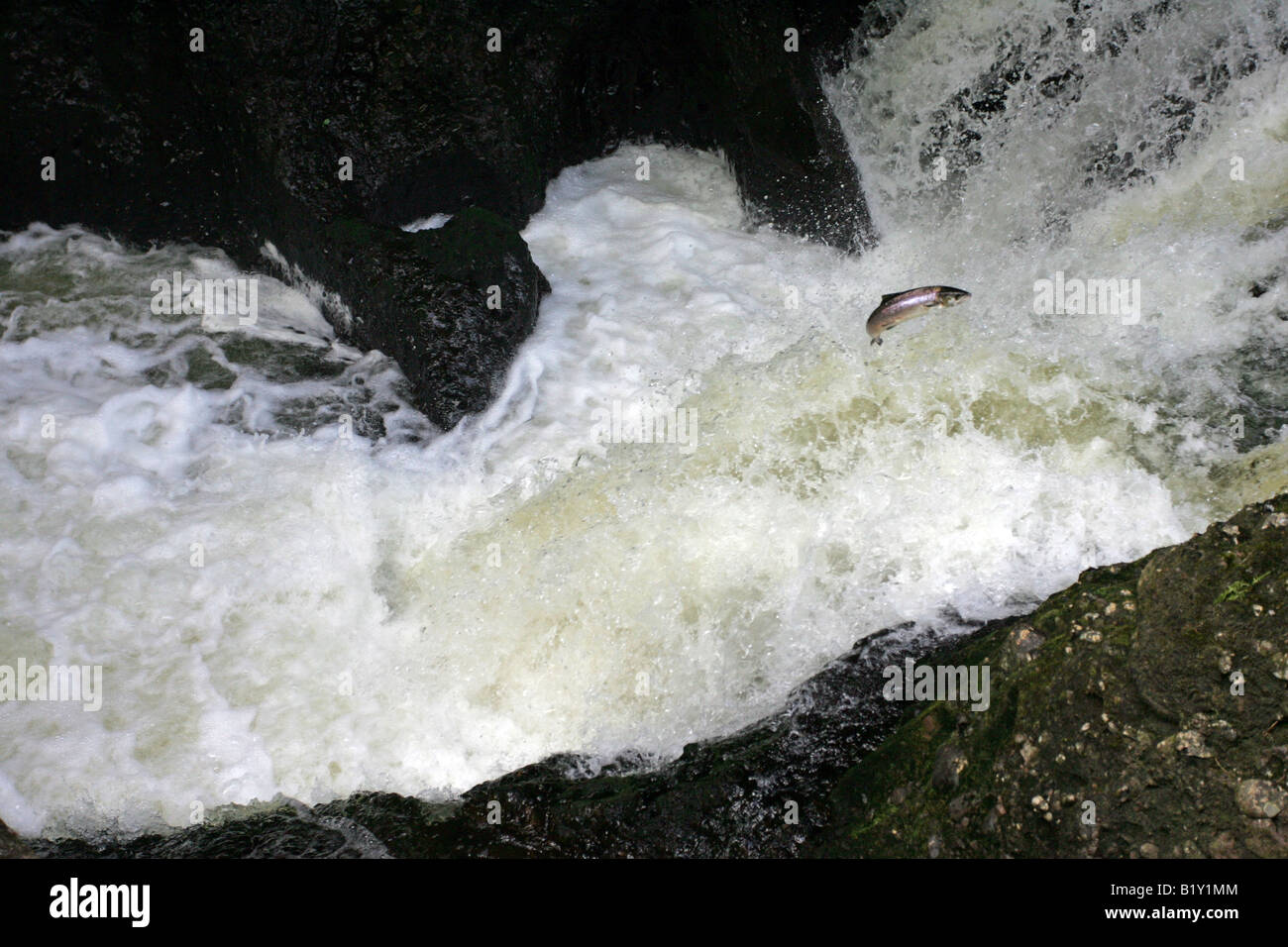 Salmon leaping up a waterfall on the fast flowing salmon fishing river North Esk near Gannochy, Angus, Scotland, - Stock Image