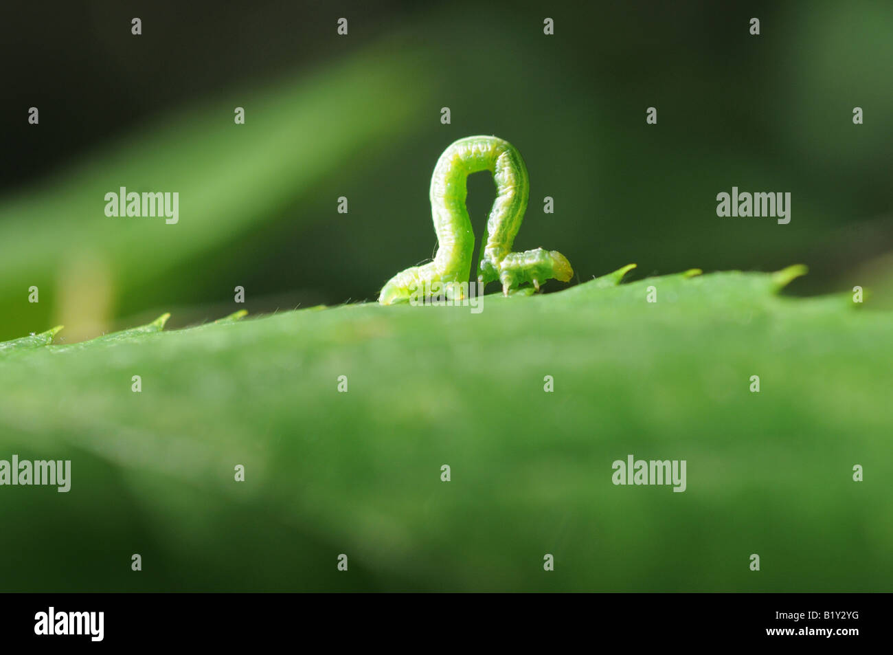 """An inchworm bent in mid path, its body forming an """"omega"""" shape, as it crawls along the jagged edge of a very green - Stock Image"""