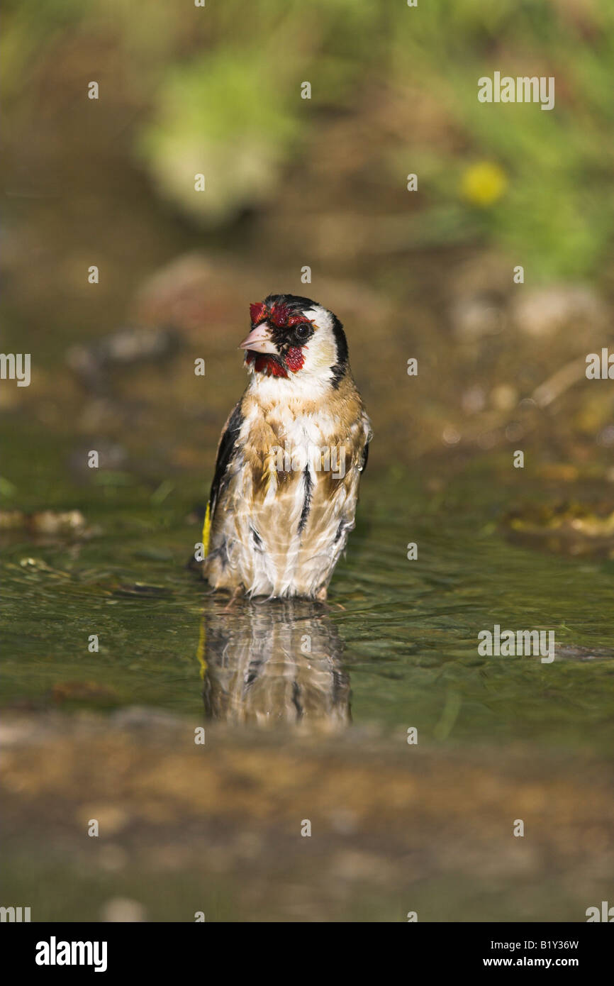 Goldfinch Carduelis carduelis bathing in small freshwater pool near Agiassos, Lesvos, Greece in April. - Stock Image