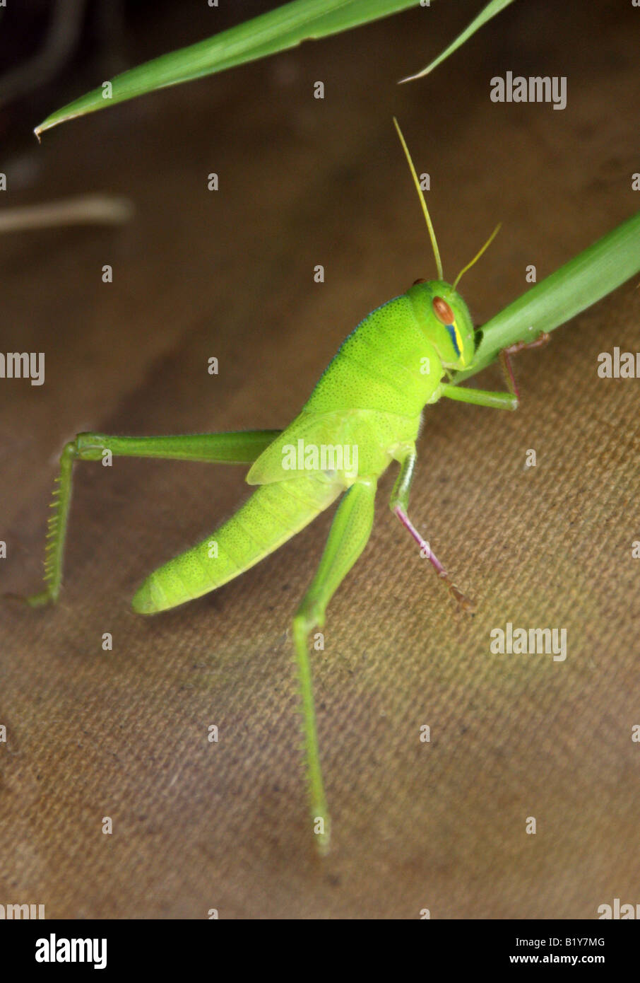 Vagrant Grasshopper or Gray Bird Grasshopper Nymph Stage Schistocerca nitens Stock Photo