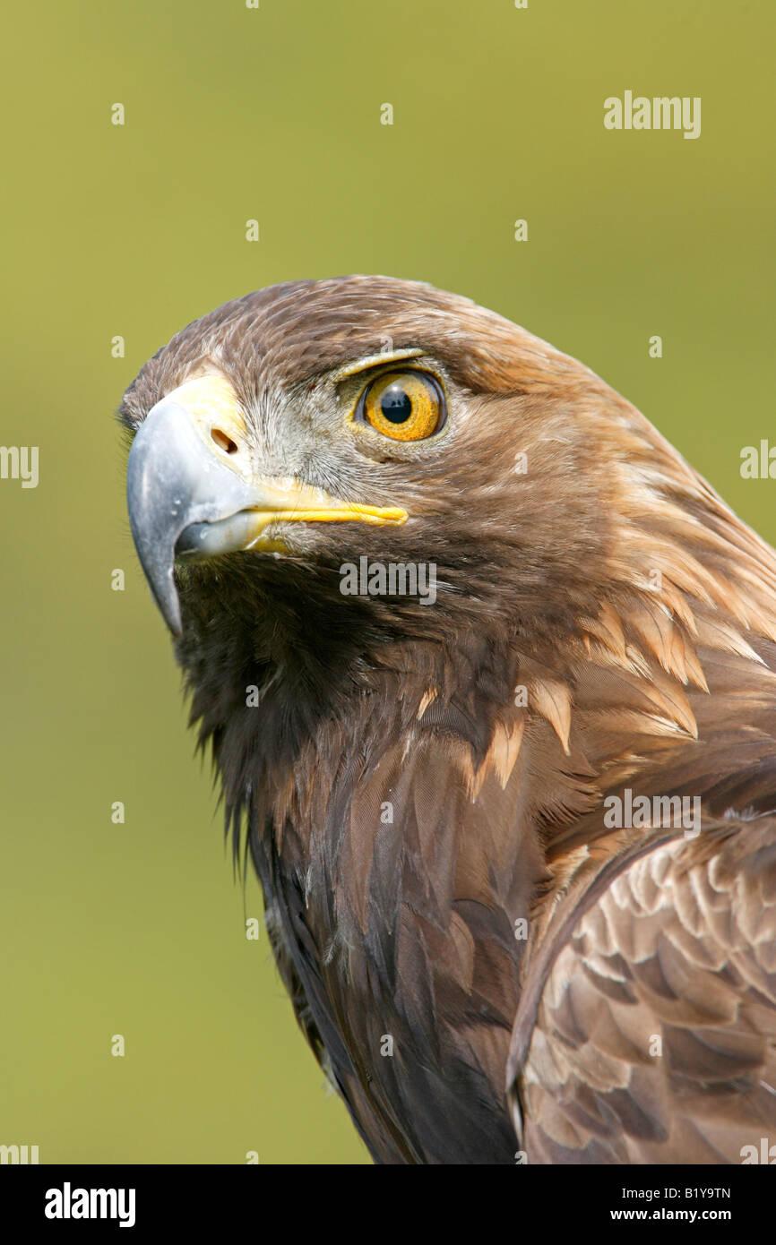 Captive Golden Eagle Profile Vertical - Stock Image