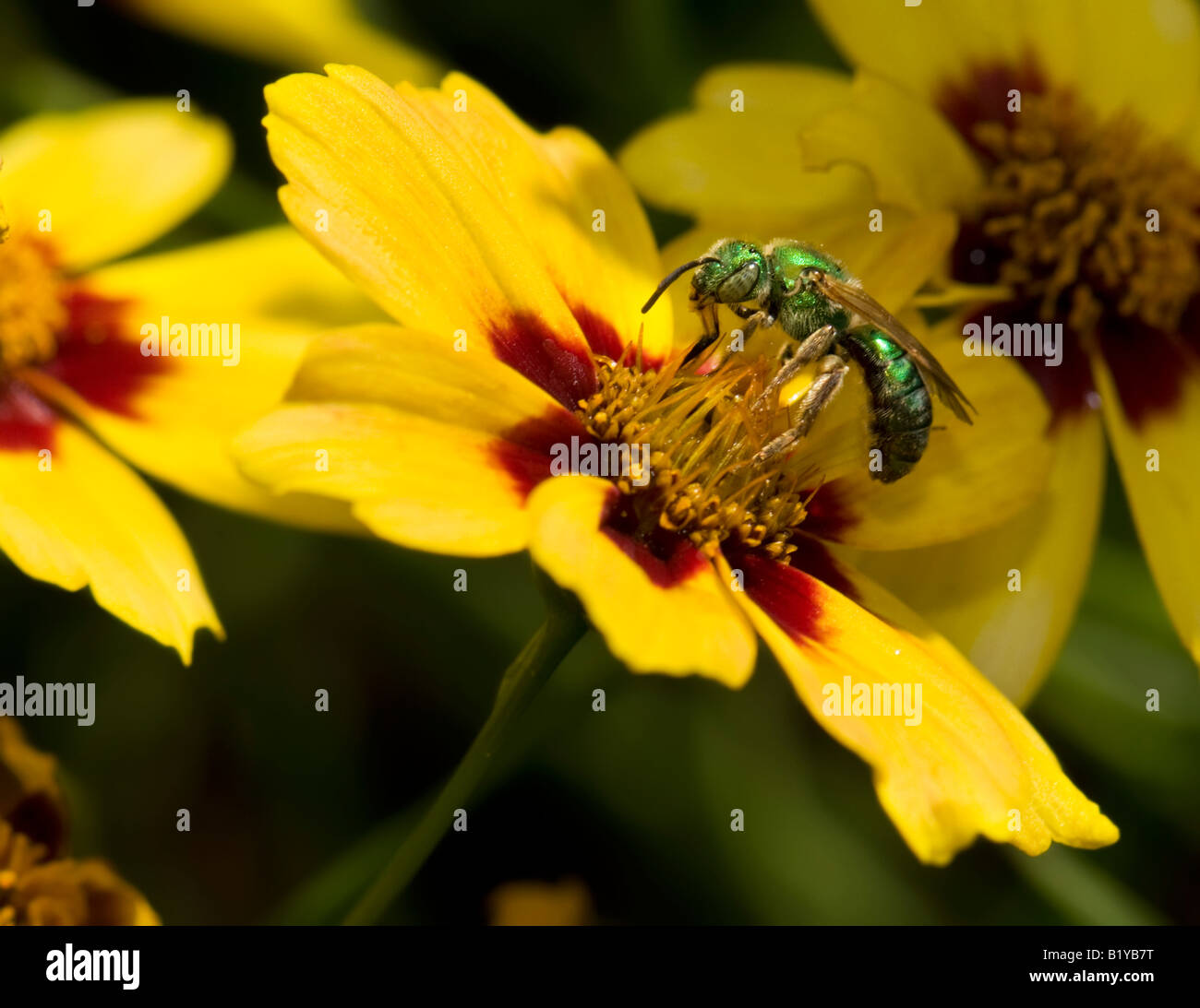 Augochloropsis metallica, a small metallic green bee on a coreopsis flower in Oklahoma, USA. - Stock Image