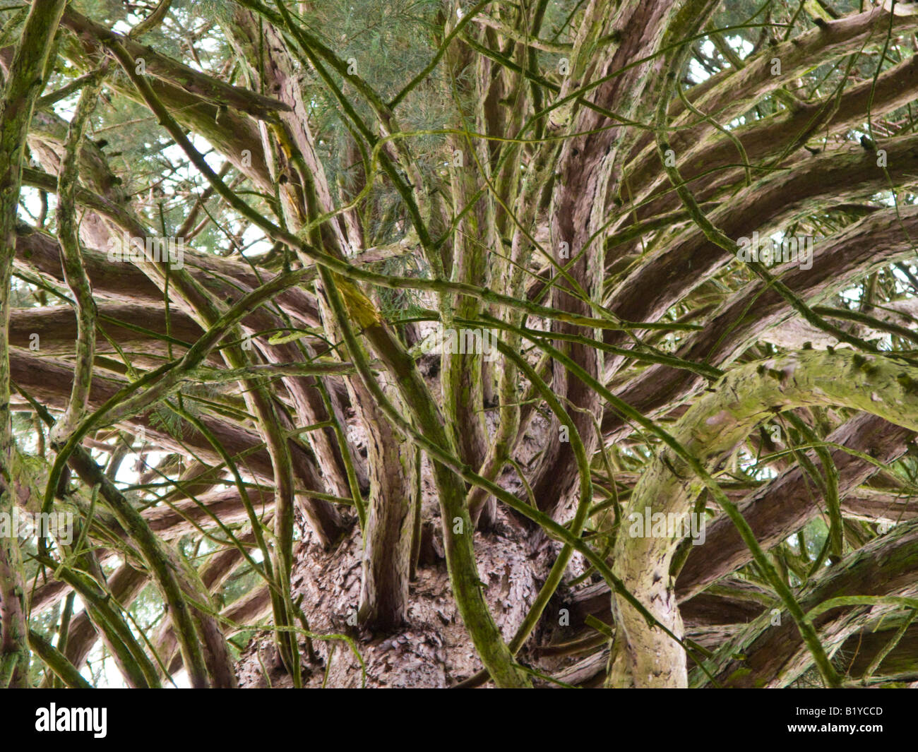 Trunk and branches of a huge conifer tree - Stock Image