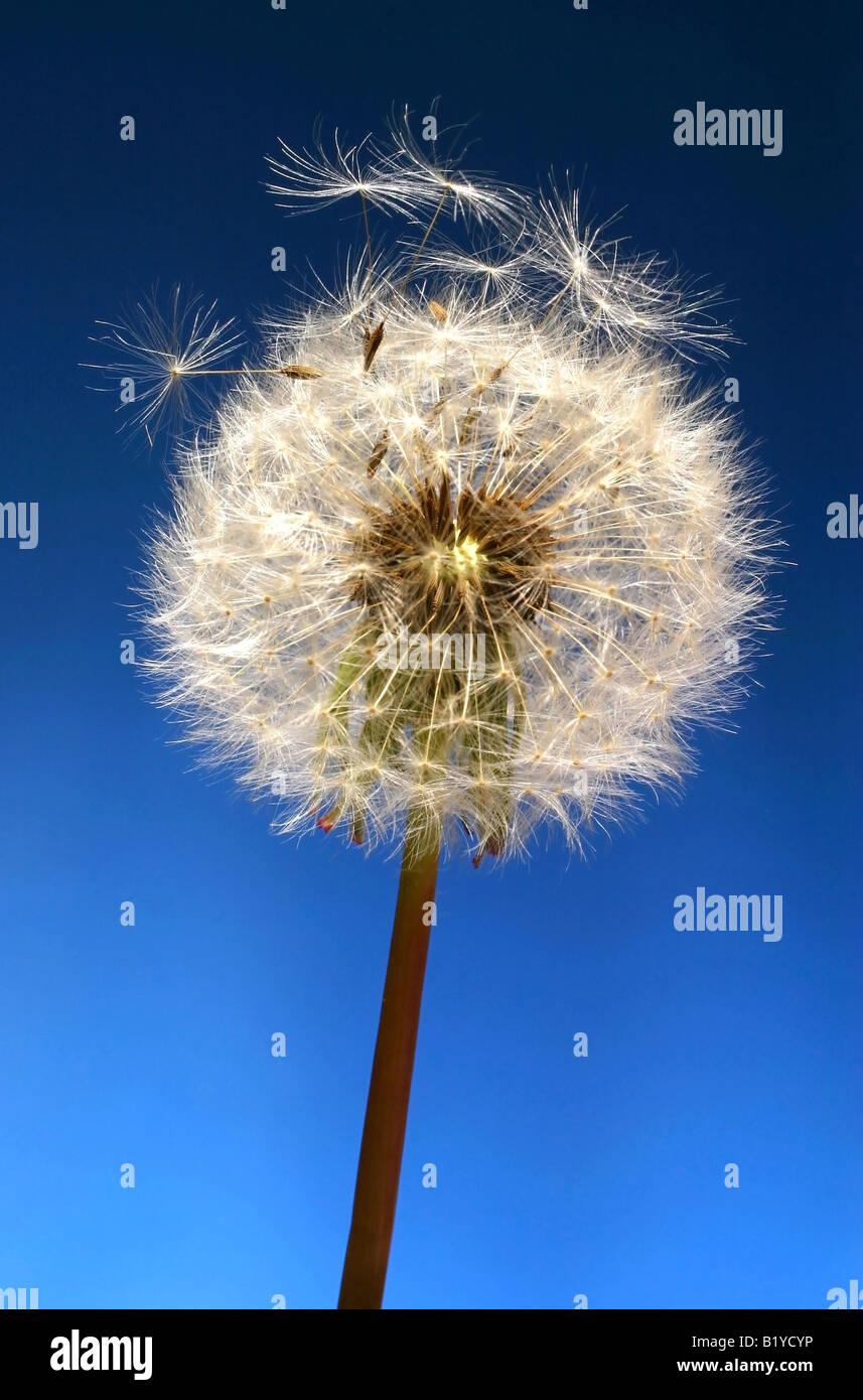 Dandelion Objects on blue background - Stock Image