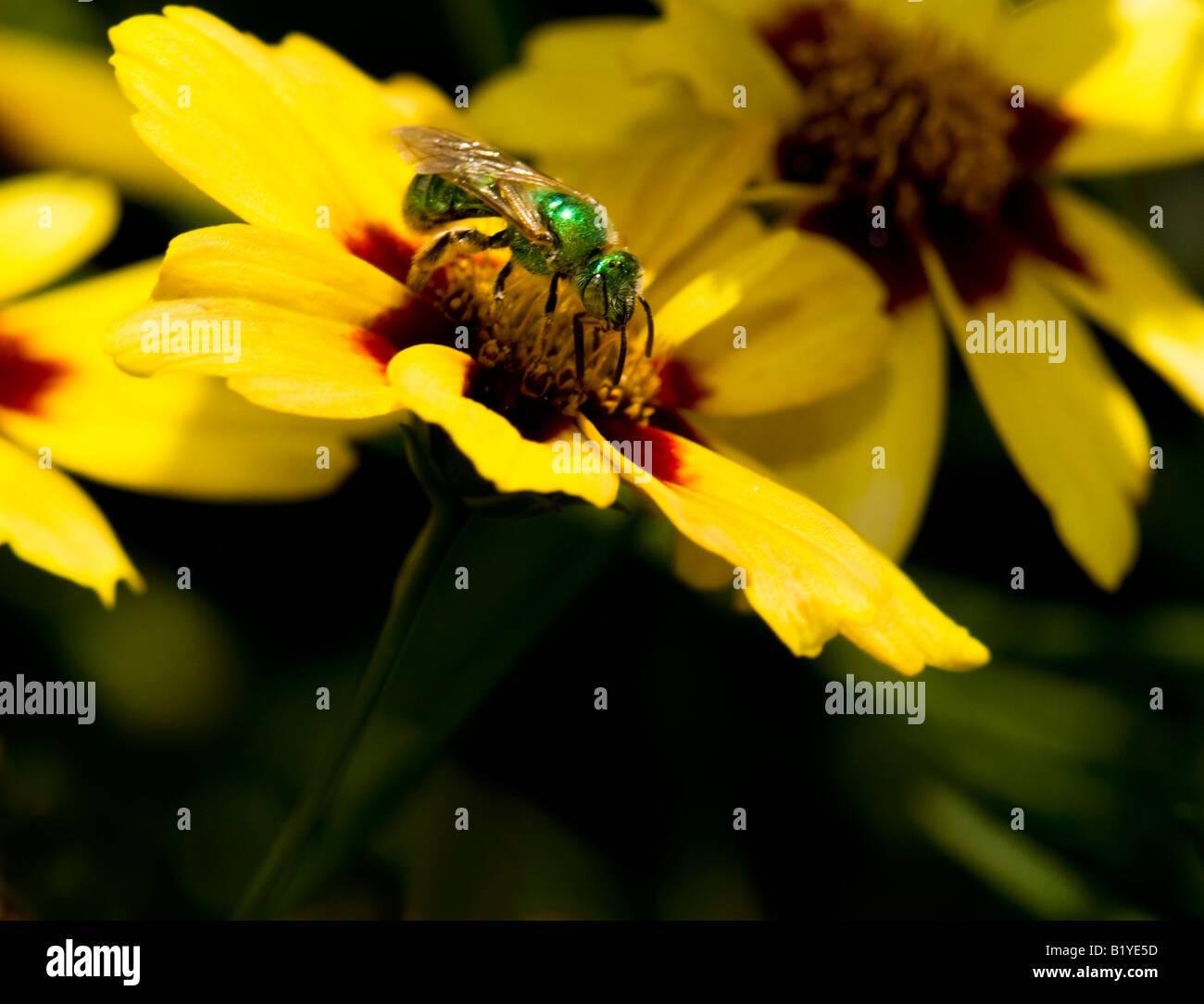 Augochloropsis metallica, a small metallic green bee on a coreopsis flower in Oklahoma, USA. - Stock Image