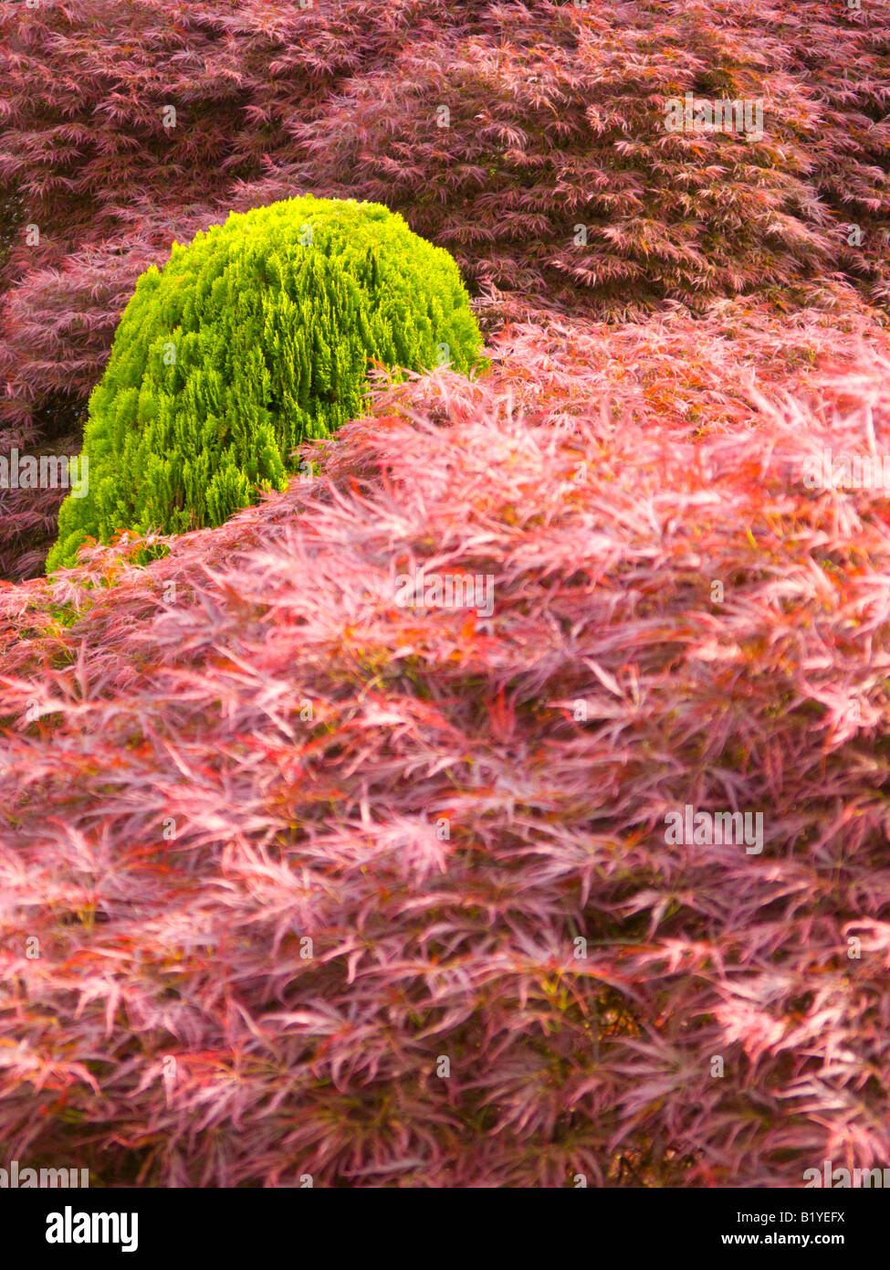 Japanese acers with a small conifer - Stock Image