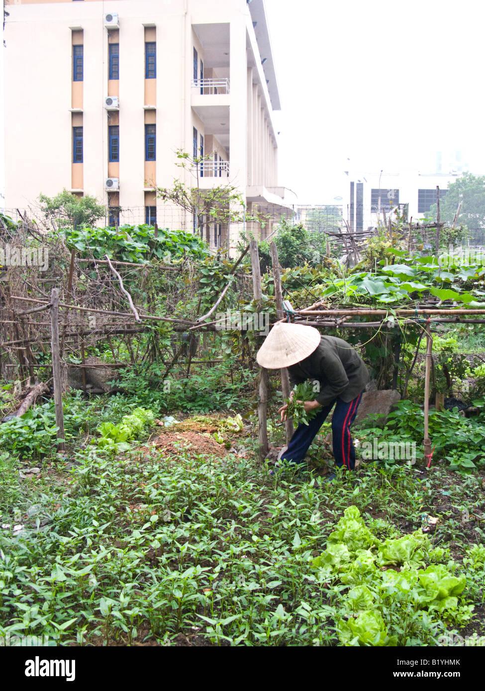 Vietnamese woman gardening in vegetable plot beside ...