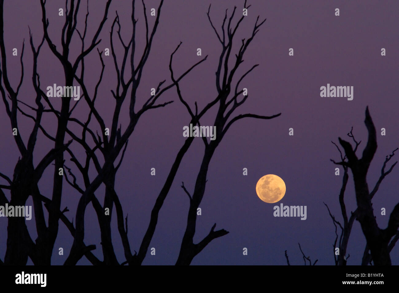 Moonrise behind silhouetted dead trees on lake bed - Stock Image
