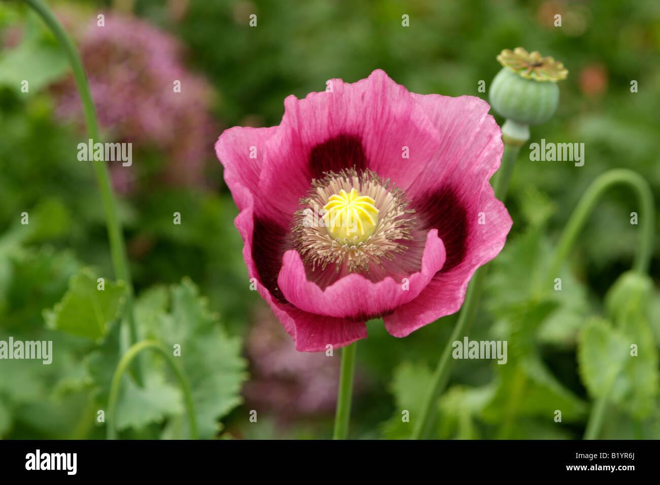 Opium Poppy In Flower With Seed Pod Stock Photos Opium Poppy In