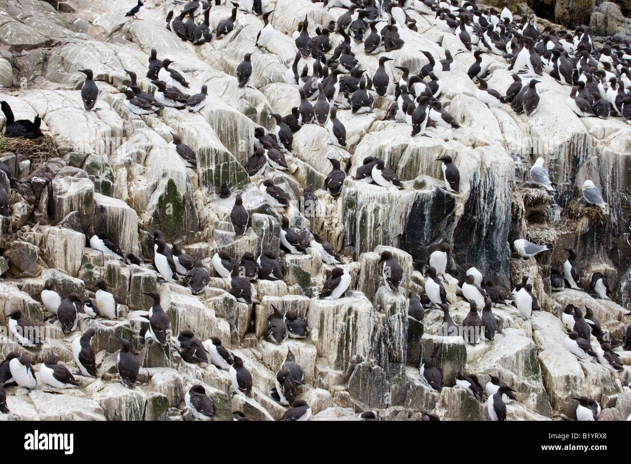 Large number group of Common Guillemots (Uria aalge) on a rock on an island Stock Photo