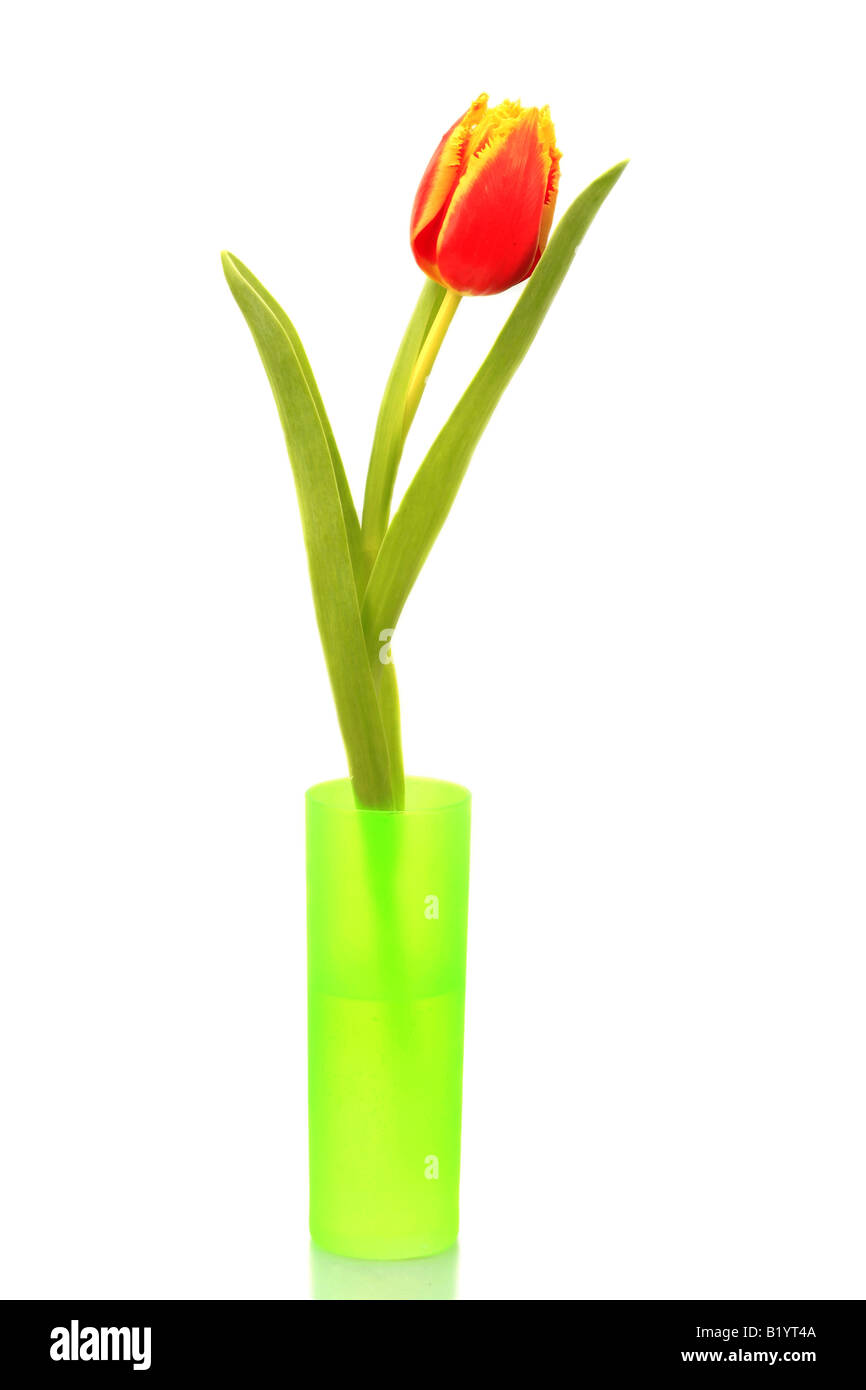 common garden tulip Tulipa gesneriana single plant in a vase - Stock Image