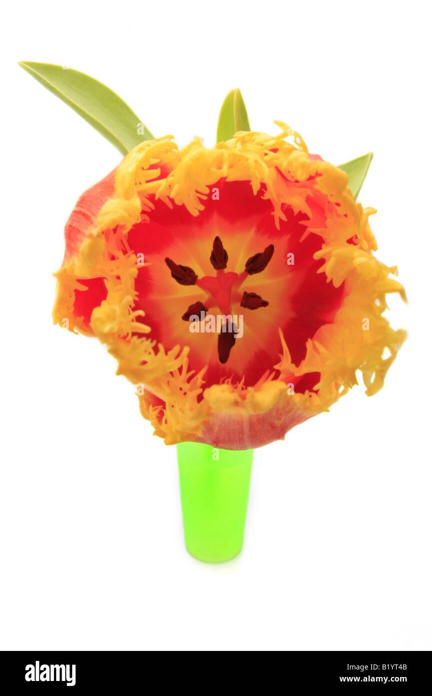 tulip Tulipa spec - Stock Image