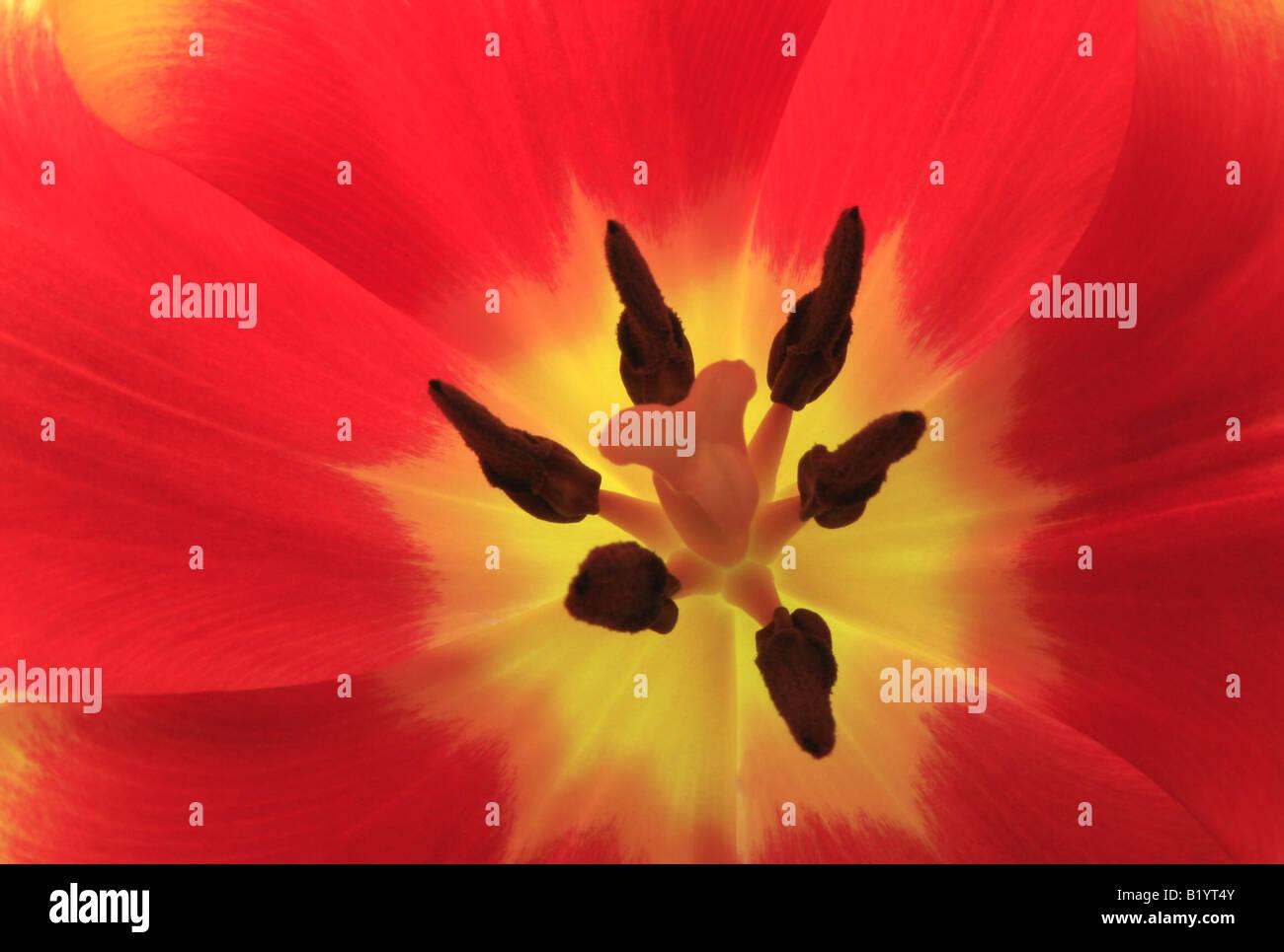 tulip Tulipa spec flower detail - Stock Image