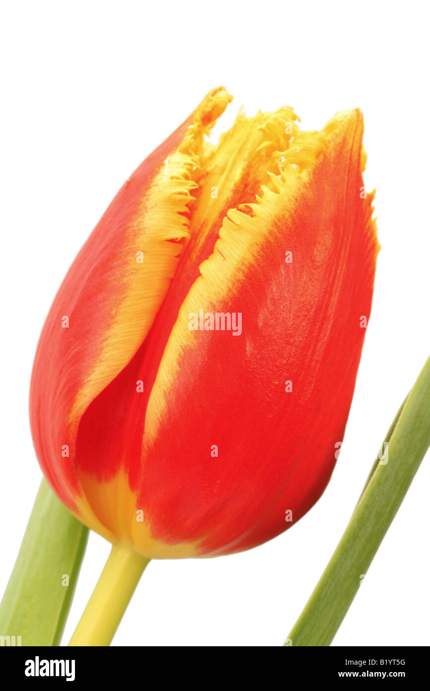 tulip Tulipa spec flower - Stock Image