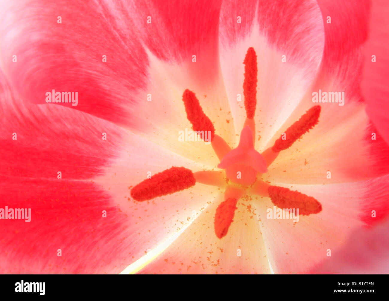 tulip Tulipa spec detail of blossom - Stock Image