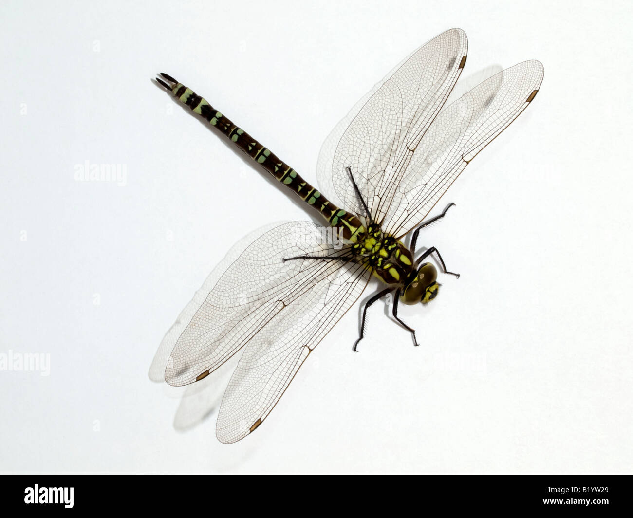 Southern Hawker Dragonfly - Stock Image