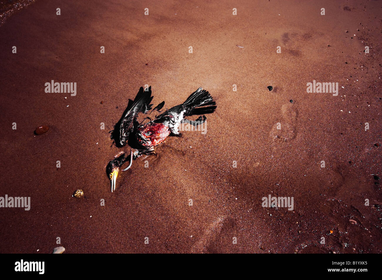 Dead bird on the beach. Victim of natural disaster, pest - Stock Image
