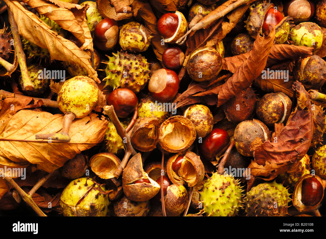 Conkers and and Horse Chestnuts leaves in autumn Stock ...