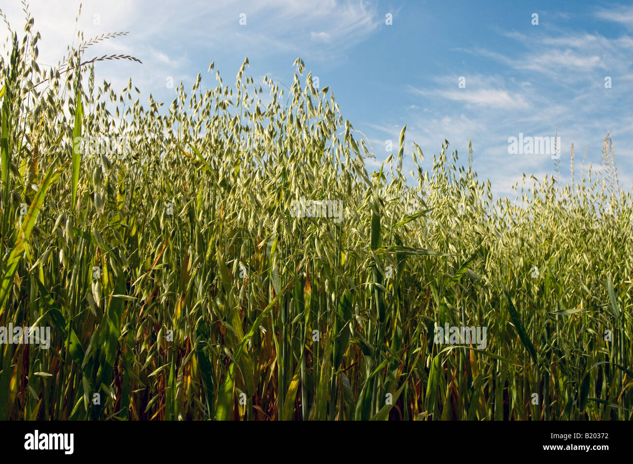 Oat field, sud-Touraine, France. - Stock Image