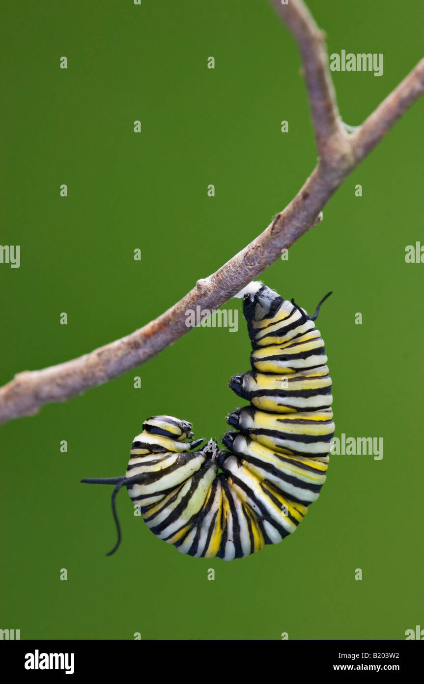 Monarch Butterfly Caterpillar Beginning to Pupate - Stock Image