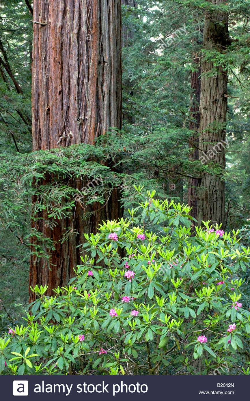 Coastal Redwoods Sequoia sempervirens and Rhododendrons at Lady Bird Johnson Grove Redwood National Park California - Stock Image