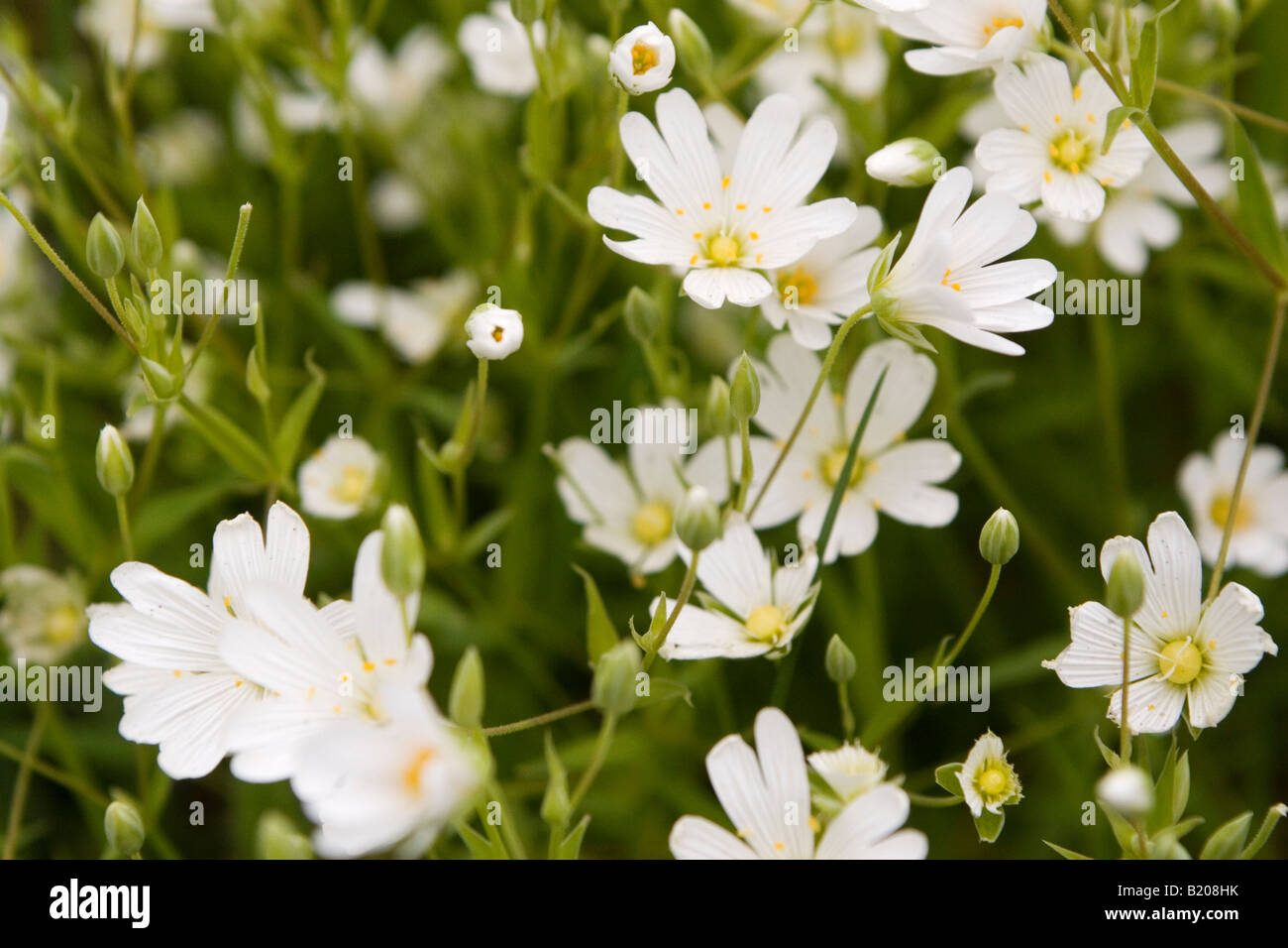 White Daisy Like Flowers Thriving In North East England Stock Photo