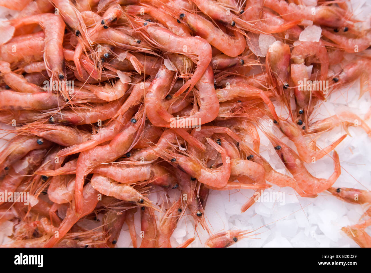 Shrimp commercial catch on ice. - Stock Image