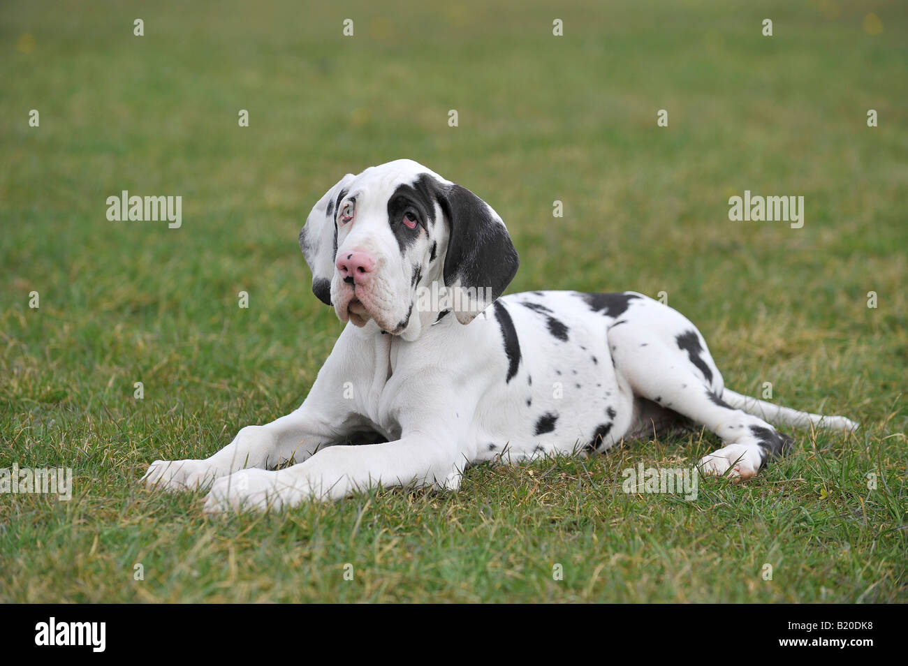 Harlequin Great Dane Puppy Lying Down Stock Photo Alamy