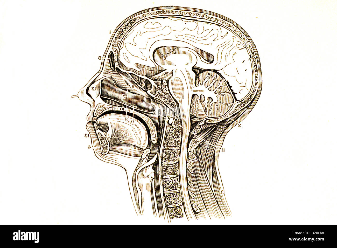 Head And Neck Arteries Stock Photos & Head And Neck Arteries Stock ...