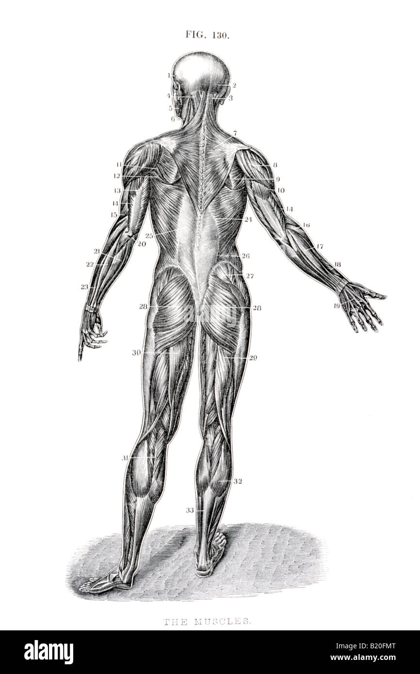 Illustration Muscles Of Human Body Posterior View Stock Photo